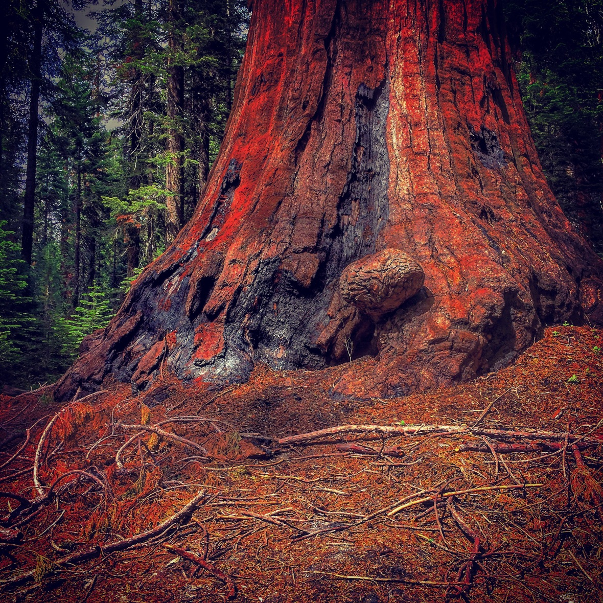 """HUGE Tree - Trust Me"" (Sequoia National Park)"