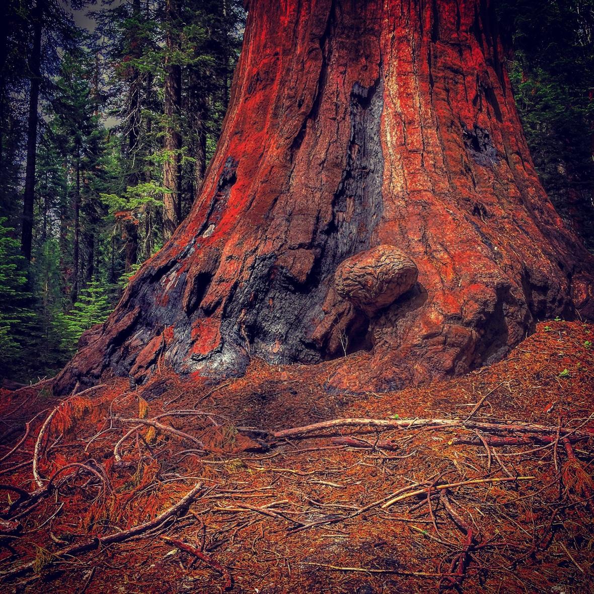 """HUGE Tree - Trust Me"" (Sequoia National Park)"