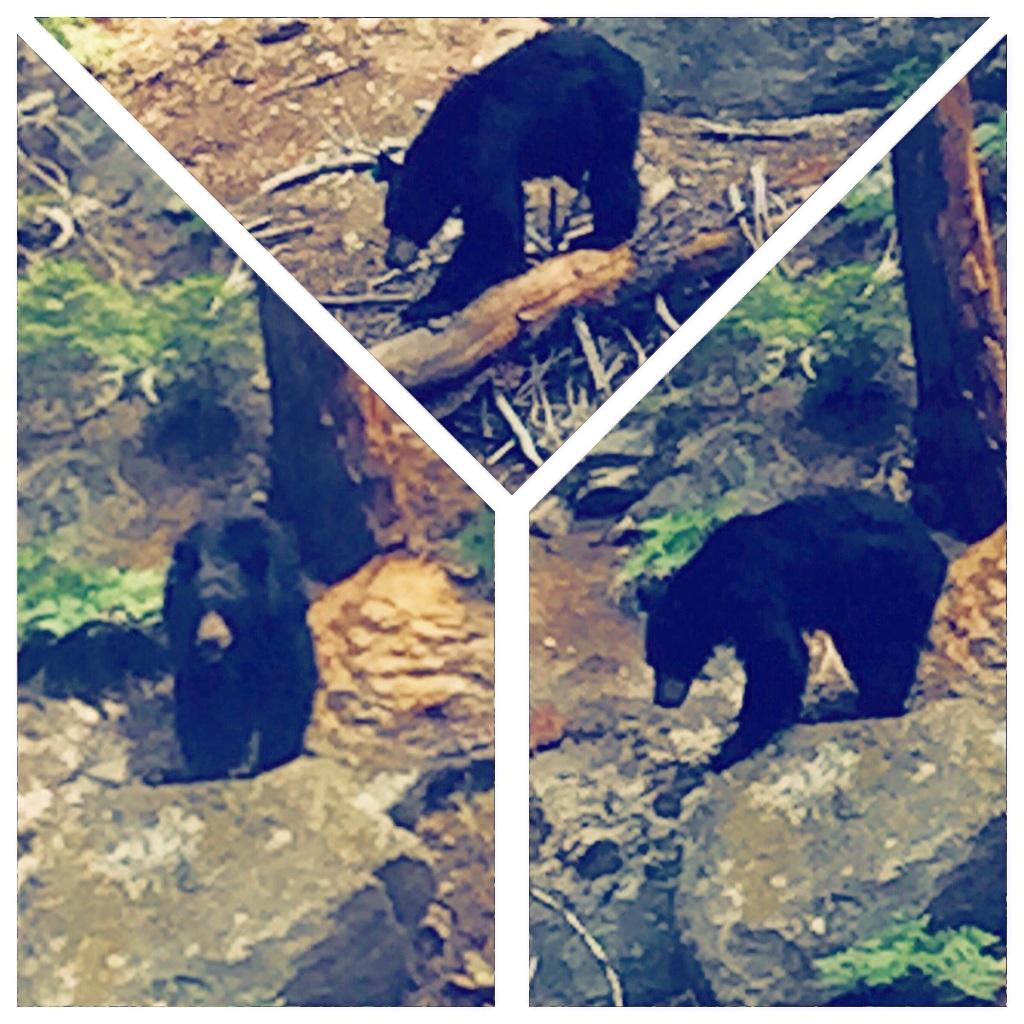 """Yogi Bear"" (Sequoia National Park)"