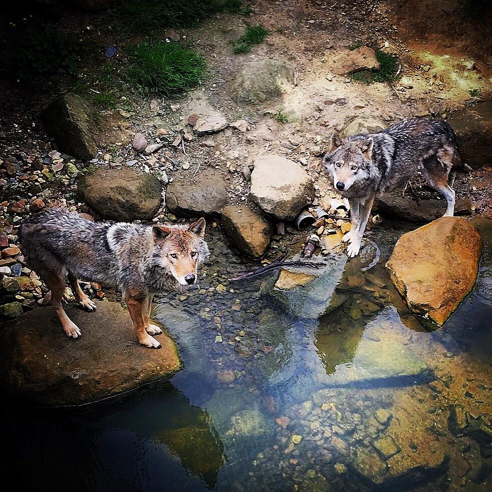 """Wolves See Through Me"""