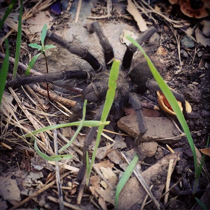 """Tarantula. Uh, oh!"" (Malibu, California)"